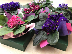 African Violet (Boxed & Wrapped)