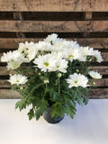 Flowering Chrysanthemum