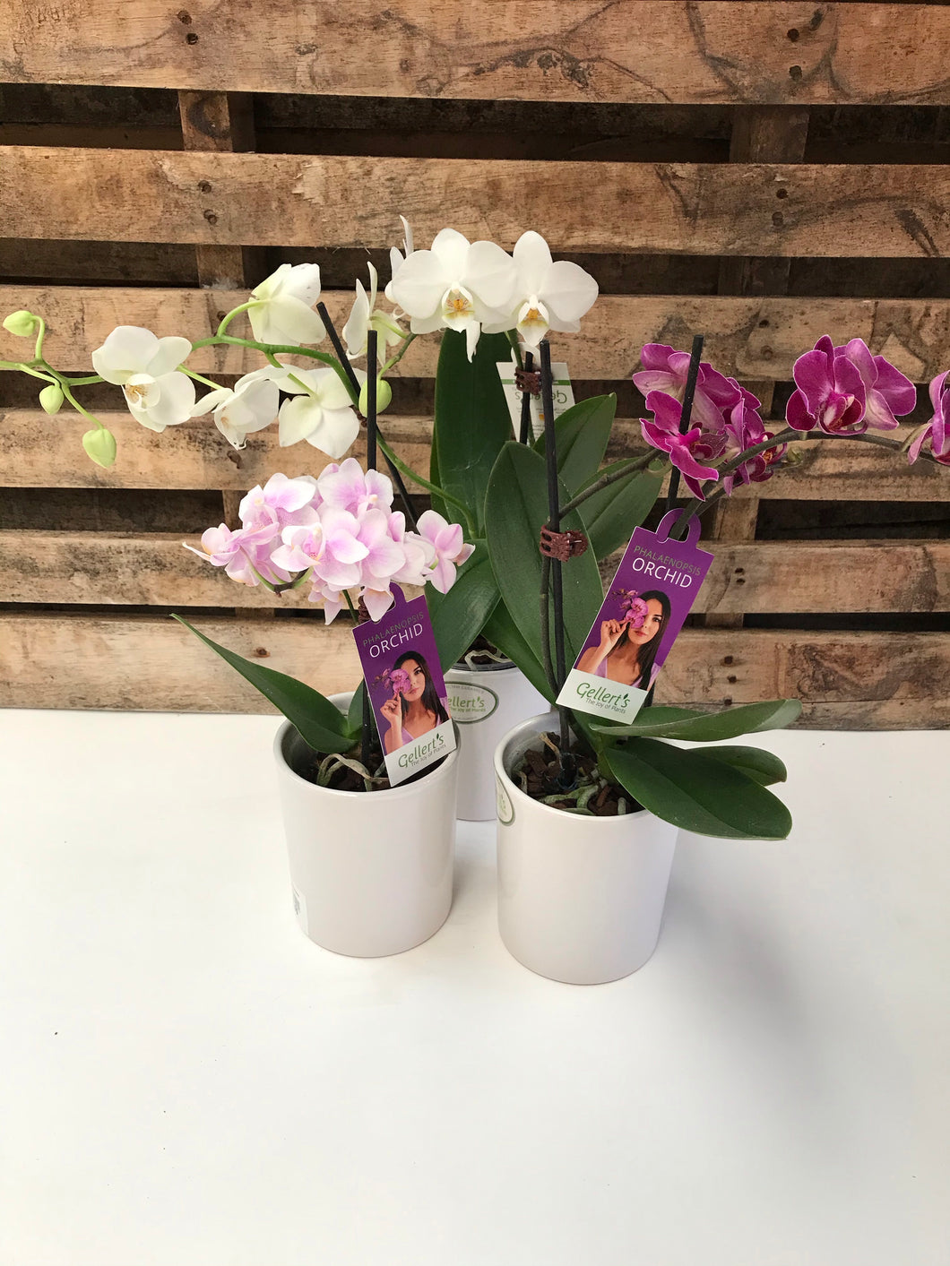 Mini Phalaenopsis In Ceramic Pot