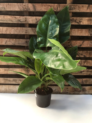 Philodendron Selloum (Imperial Green)