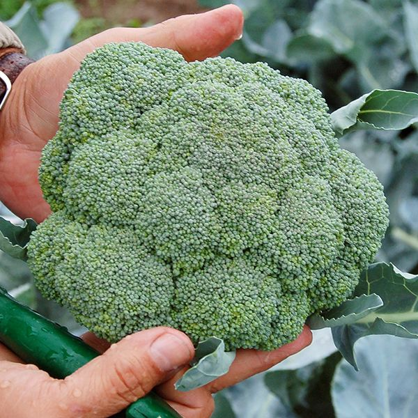 Broccoli - BelStar