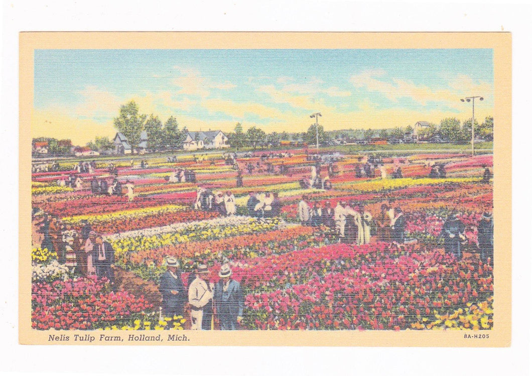 Nelis Tulip Farm Holland Michigan 1940's Linen Postcard Tulip Time