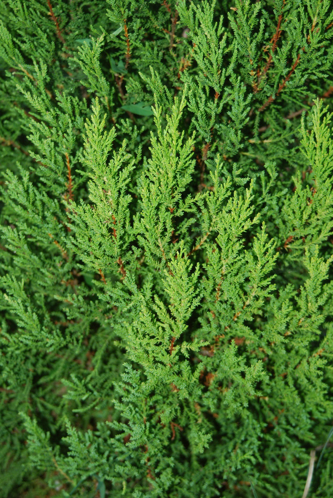 Essential Oil - Cypress 12 ml, 36 ml or 50 ml
