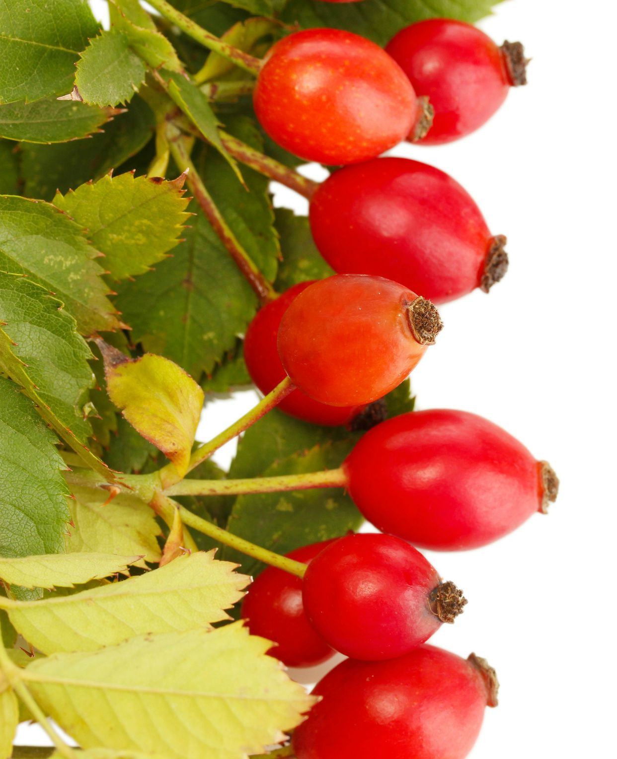 Rosehip Seed Oil (Chile)