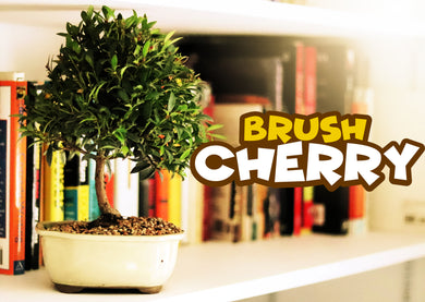 Brush Cherry w/FREE Shipping & Humidity Tray with Rocks