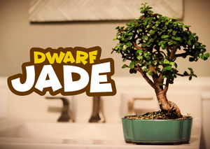 Dwarf Jade w/FREE Shipping & Humidity Tray with Rocks