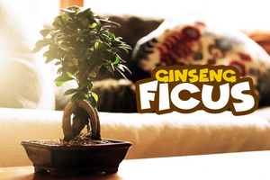 Ginseng Ficus w/FREE Shipping & Humidity Tray with Rocks