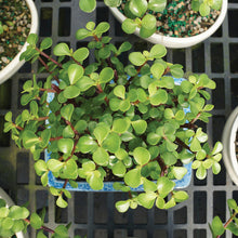 Load image into Gallery viewer, Dwarf Jade w/FREE Shipping & Humidity Tray with Rocks