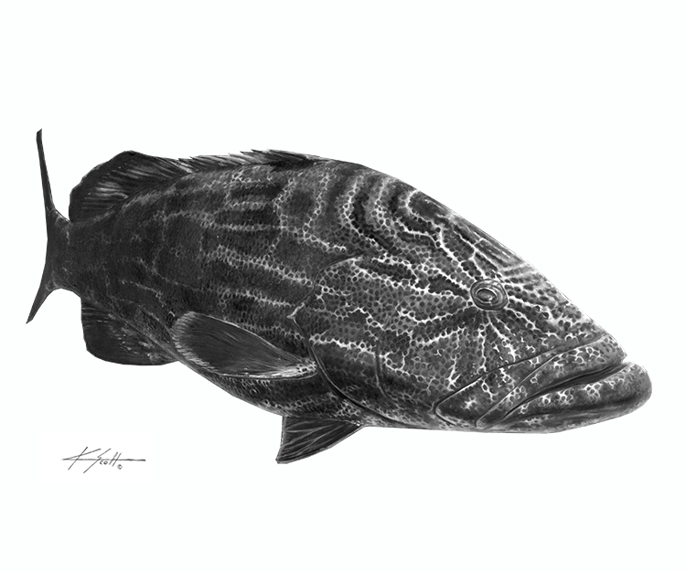 Black Grouper B/W