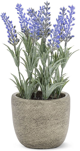 Abbott Potted Lavender