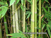 Himalayan Bamboo Fragrance Oil  .5 oz