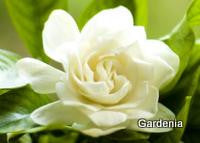 Gardenia Fragrance Oil   .5 oz