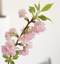 Load image into Gallery viewer, Cherry Blossom Bunch