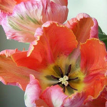 Load image into Gallery viewer, Parrot Tulip Bunch
