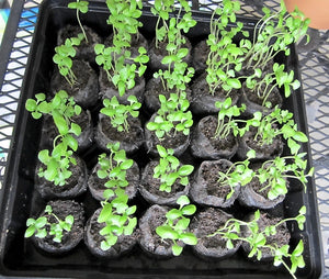 Basil Seedlings Grown by The Gardner's A-Z Guide to Growing Organic Food