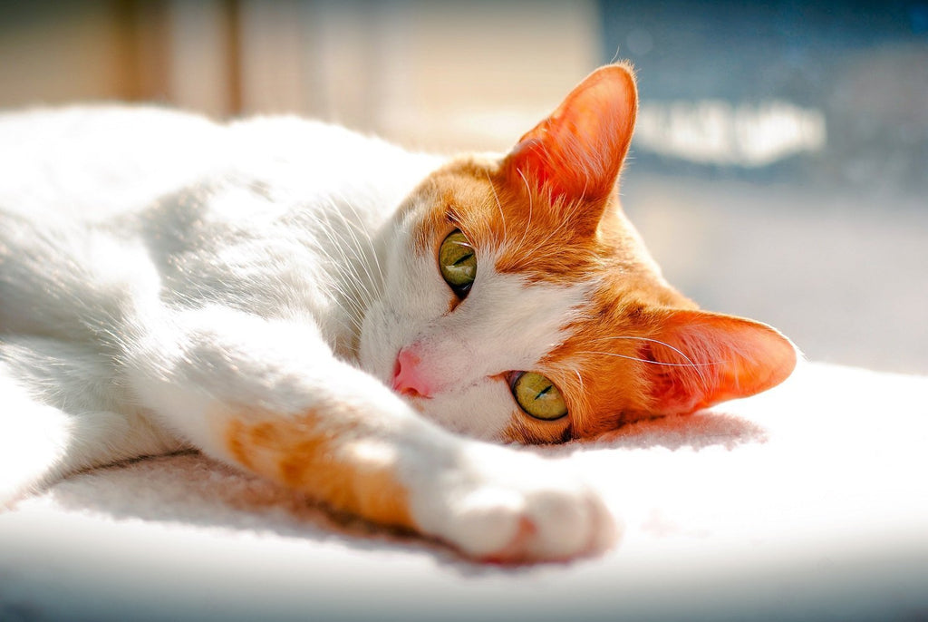 "Japanese Bobtail Cat: What You Need to Know About Owning a ""Lucky Cat"""