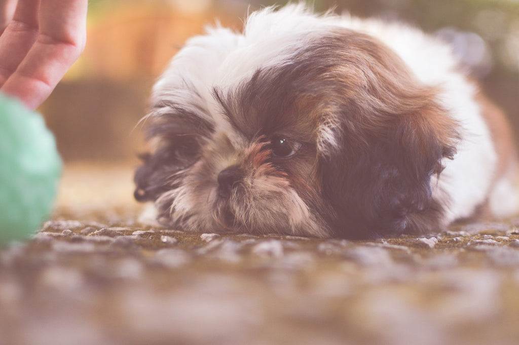 Shih Tzu Bath: Everything You Need to Know