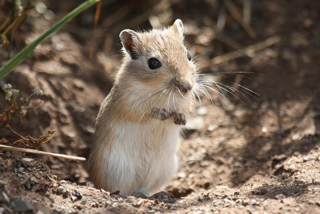 Gerbil Lifespan: Caretaking for Longevity