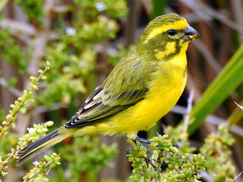 How To Feed and Care for a Yellow Canary