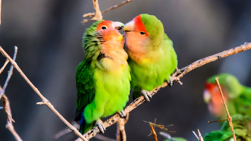 How To Keep Lovebirds as Pets: Here Are 5 of the Best Tips