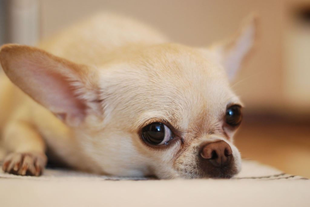 Are Chihuahuas Good Pets?