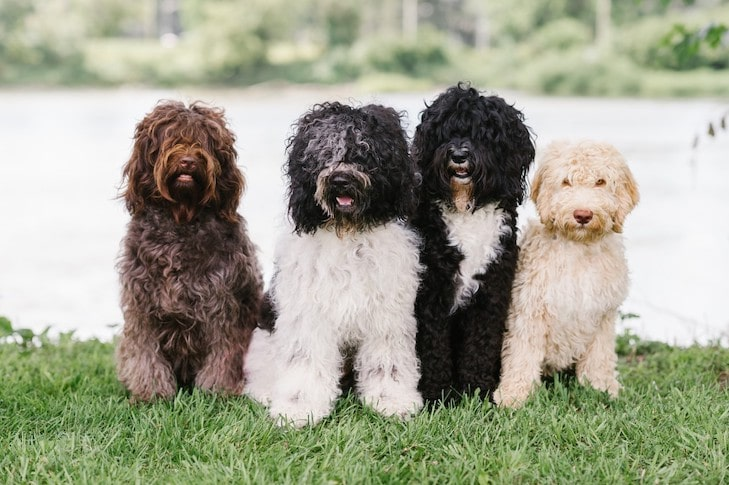 Barbet Puppies: What to Know Before Adopting