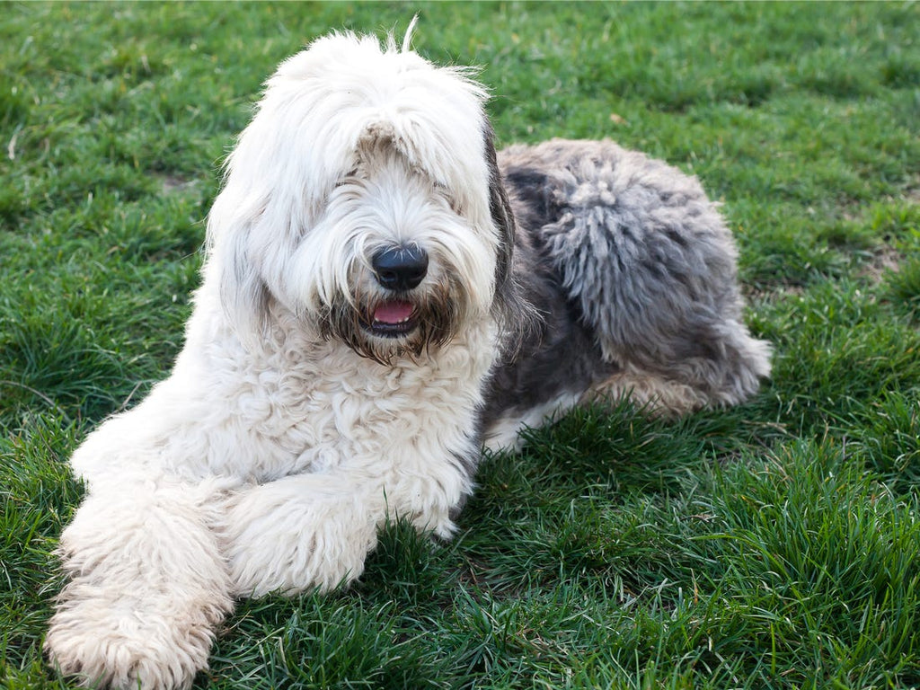 Most Common Shaggy Dog Breeds