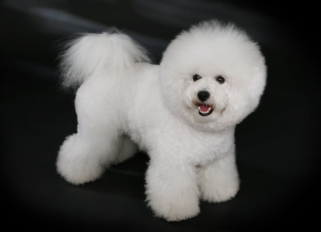 Bichon Frise Dog: Everything You Need to Know