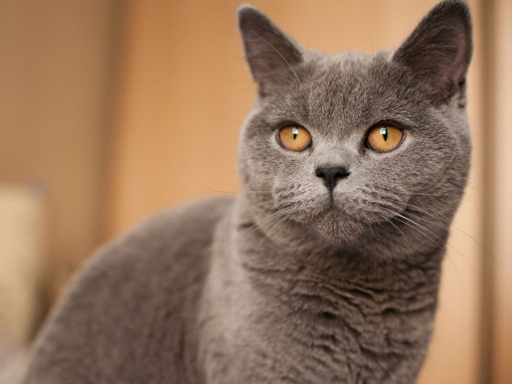 English Shorthair Cat: Get to Know the Breed