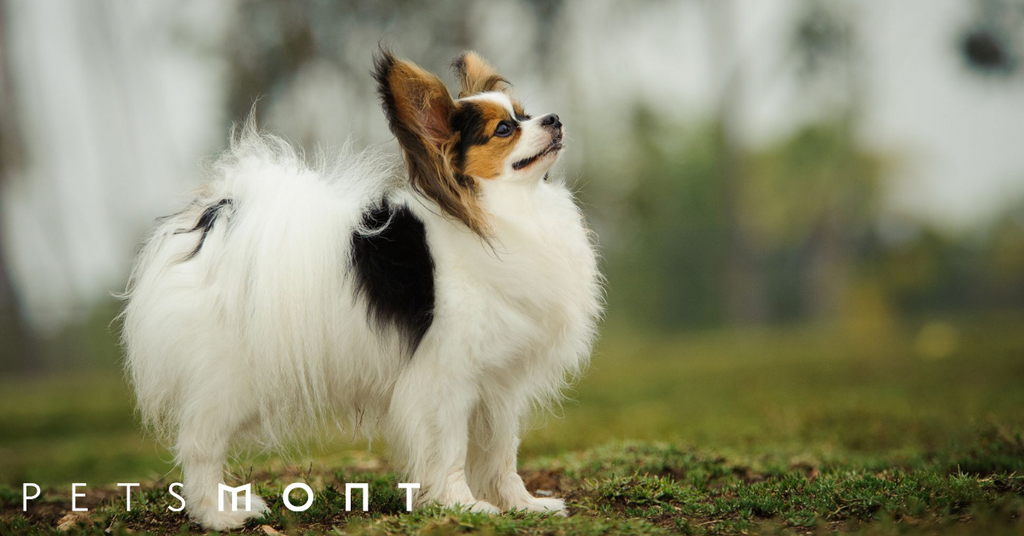 Everything You Need to Know about Papillon Puppies
