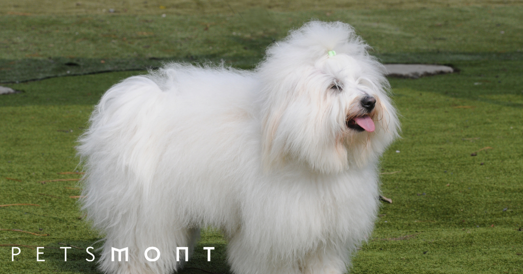 Everything You Need to Know About the Coton de Tulear