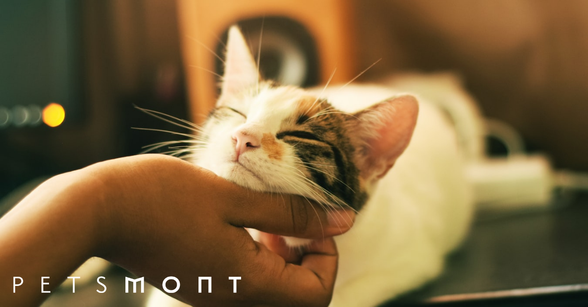 How Long Do Indoor Cats Live Typical Life Expectancy Petsmont
