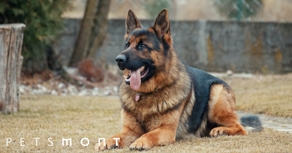 What Is The Best Dog Food For the German Shepherd?