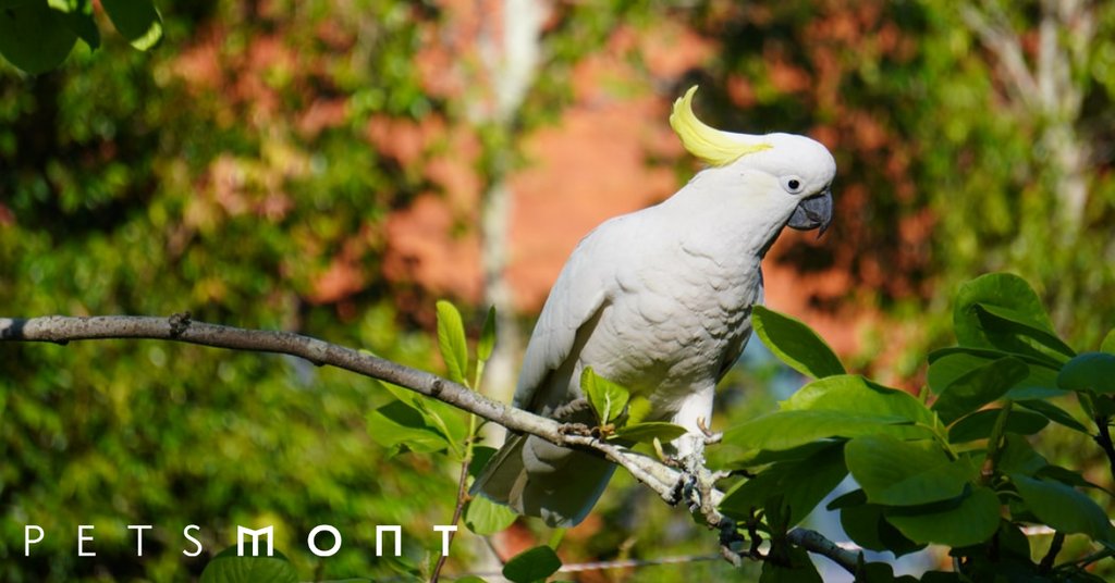Tips for Improving the Cockatoo Lifespan