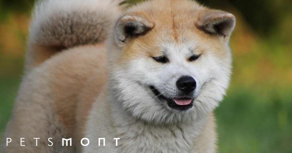 Shiba Inu vs Akita: Get to Know These Two Dogs