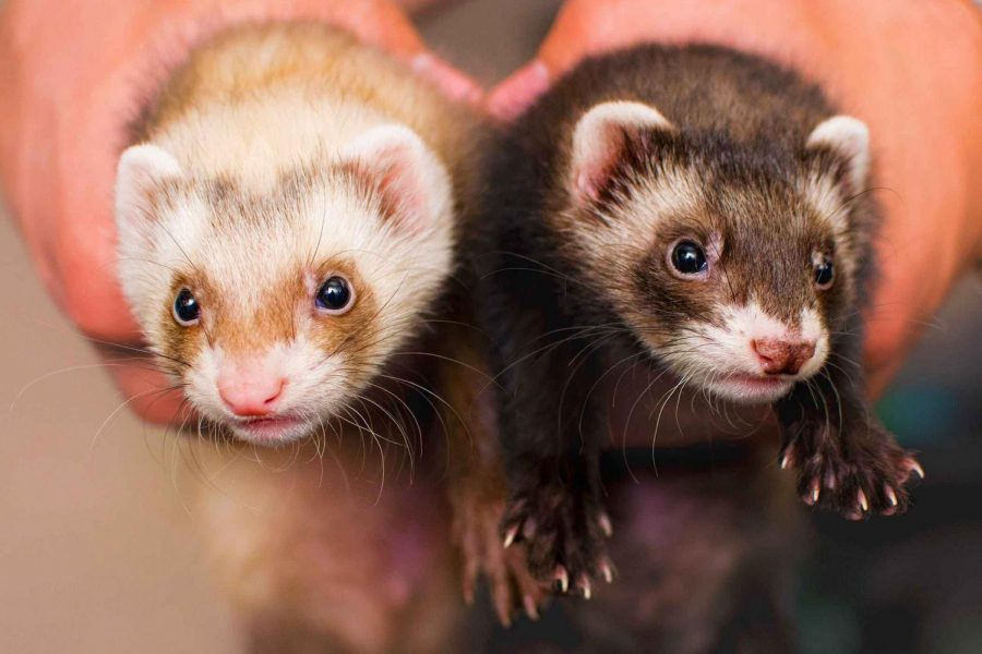 Types of Ferrets