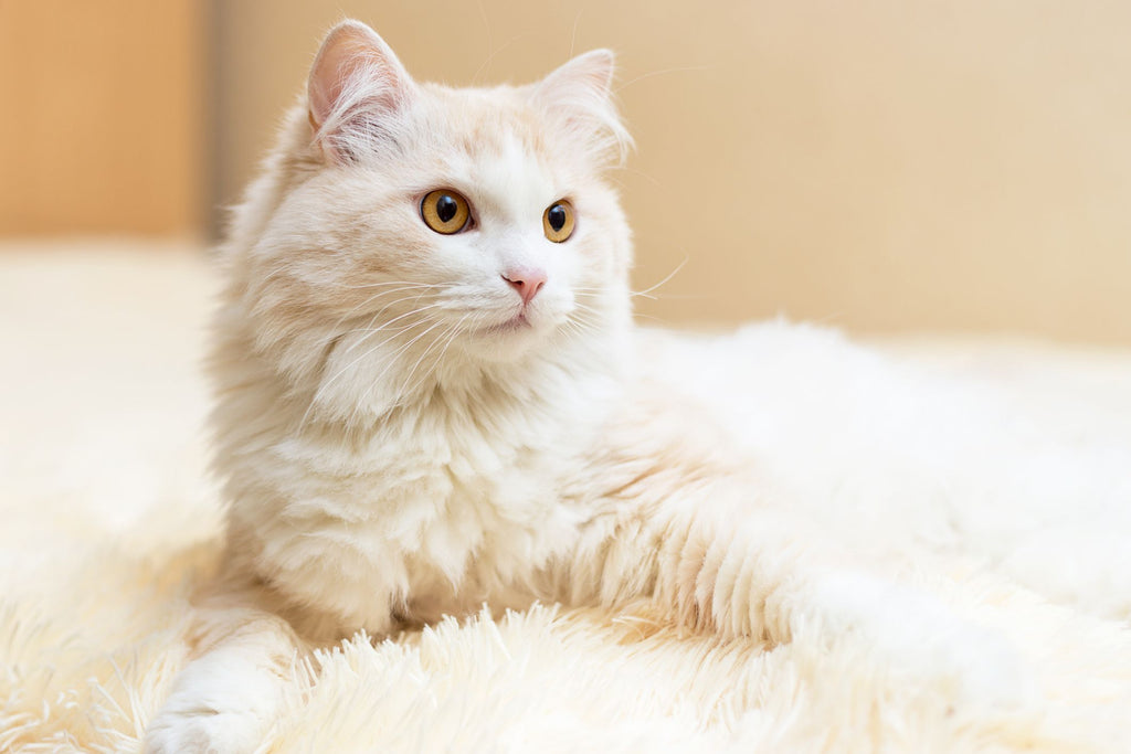 Should You Get a Turkish Angora Cat?