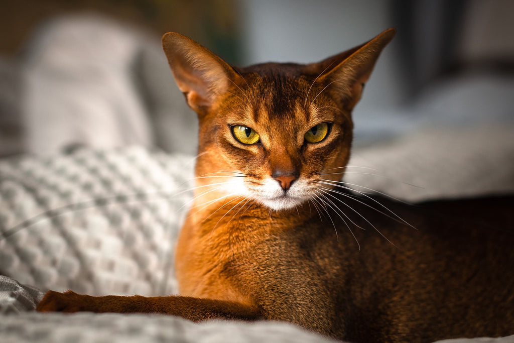 Abyssinian Kitten: What to Know Before Adoption