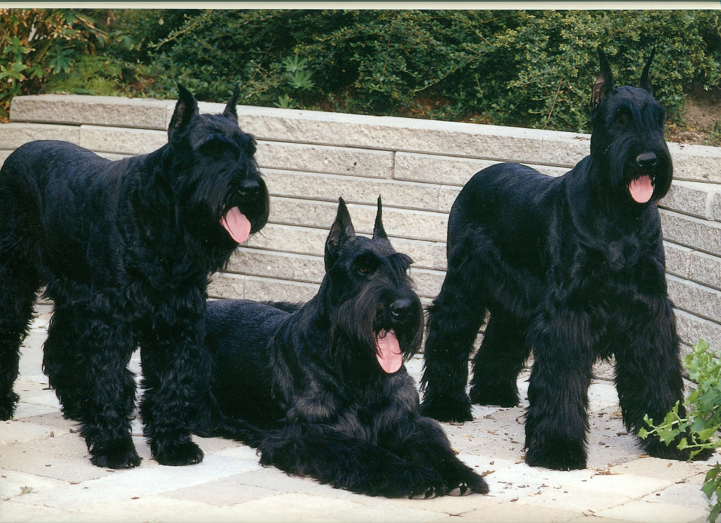 Best Facts About Giant Schnauzer Puppies