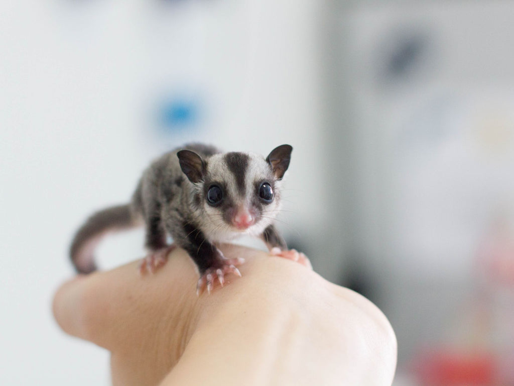 Sugar Glider Food: What Your Pet Sugar Glider Should Be Eating Everyday