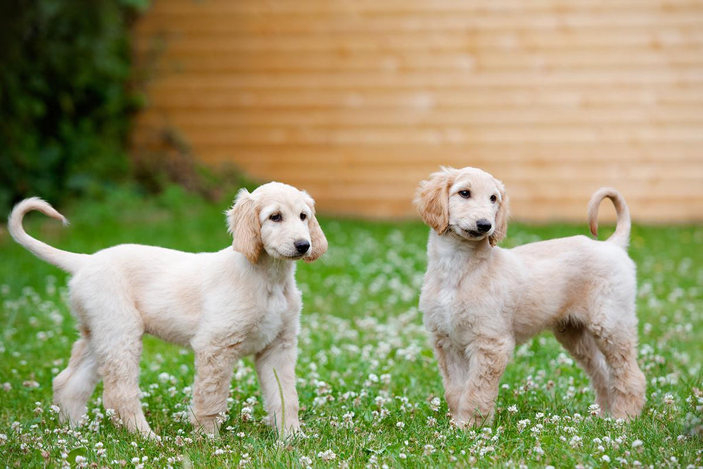 Everything You Need to Know About the Afghan Hound Puppy