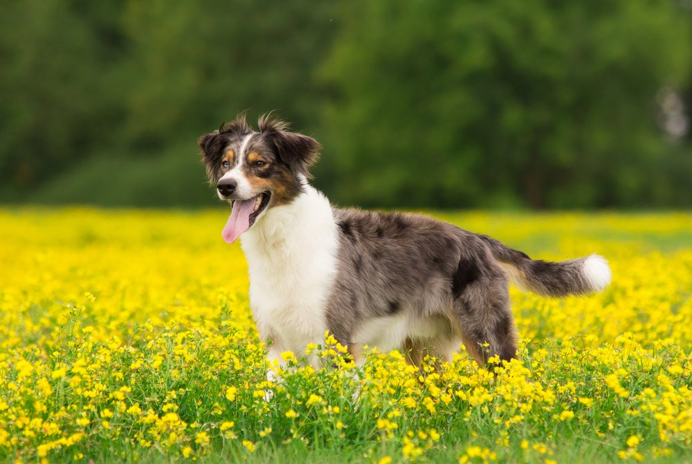 Australian Retriever: 5 Reasons This Dog Breed is the Best