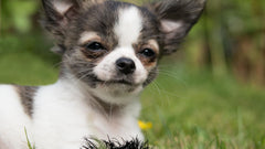 Things You May Want to Know About the Applehead Teacup Chihuahua