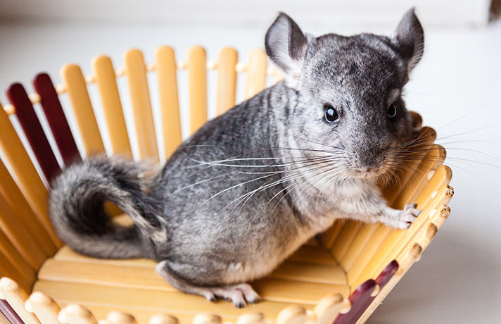 Are Chinchillas Good Pets? Absolutely! Here's Why