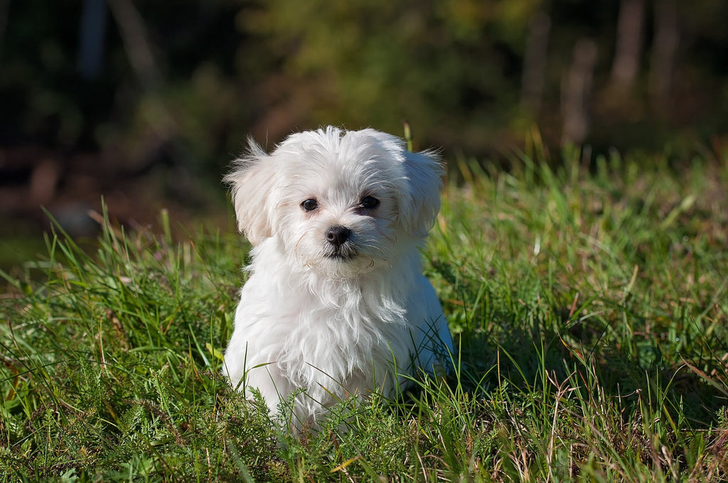 Guide for Maltese Grooming