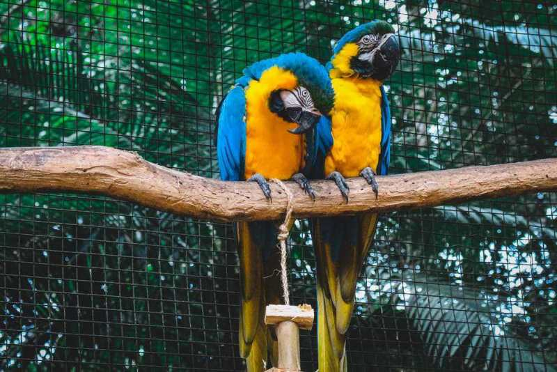 Everything You Need to Know About Raising a Blue and Gold Macaw