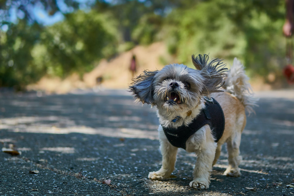 7 Things You Need To Know About the Shih Tzu Personality