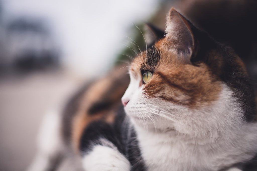 What is a Calico Cat's Personality?