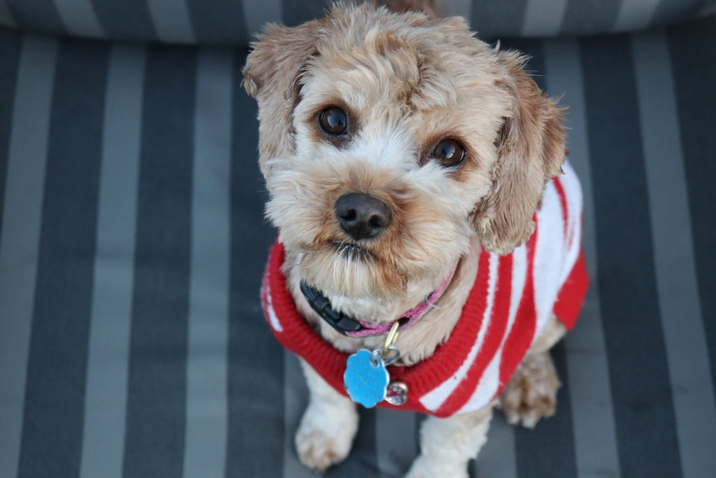 What You Need To Know About Cavapoo Adoption