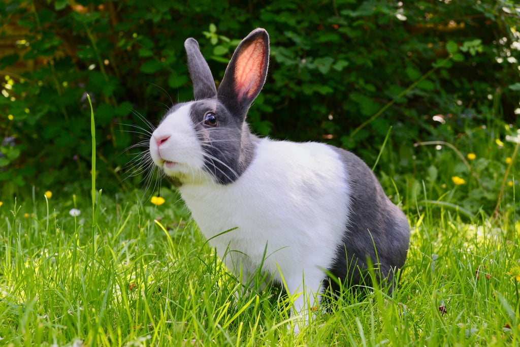 Large Rabbit Breeds: What You Need to Know